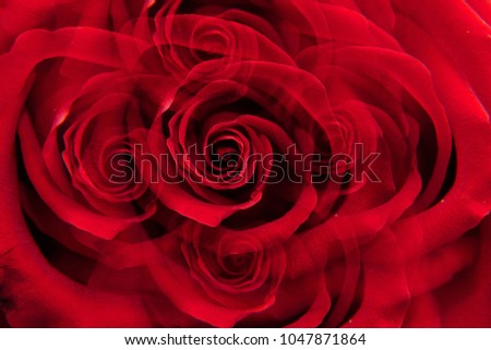 """Close-up inflorescence of red rose """"Niccolo Paganini"""" with twisted petals in five sectional reflection                              #1047871864"""