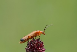 Close-up of a common red soldier beetle