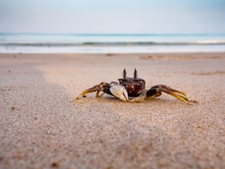close-up of a crab without claw on the seashore in the morning