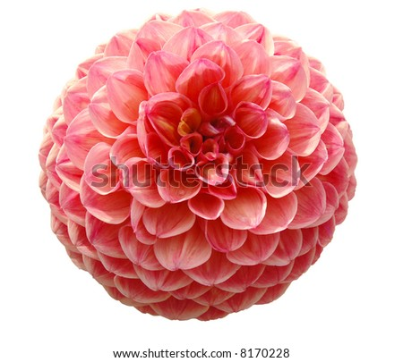 close up of a dahlia isolated on white