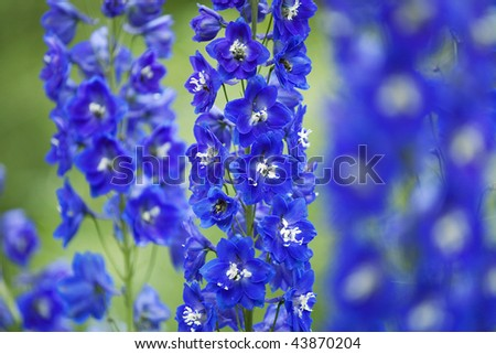 Close-up of a delphinium in garden.