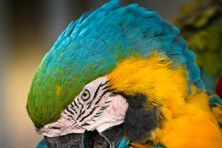 CLOSE UP OF A GREEN BLUE AND YELLOW MCCAW WITH A DISTINCT EYE