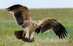 Close up of a juvenile wild Spanish imperial eagle, or Iberian imperial eagle, or Spanish eagle, or Adalbert's eagle (Aquila adalberti) in landing; region Castilla-La Mancha (Spain), 17-04-2019.