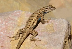 close up of a male western fence lizard sunning on a pink granite boulder along the uneva canyon trail in the san rafael swell  near green river, utah