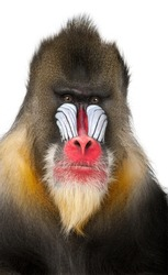 Close-up of a Mandrill, Mandrillus sphinx (22 years old), isolated on white