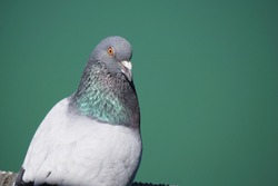 Close-up of  a pigeon in California.
