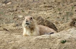 close up of cute black-tailed prairie dog peeping out of his burrow in a prairie dog colony in broomfield, colorado