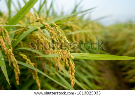 Close up of green paddy rice. yellow green rice field in the morning background Green ear of rice in paddy rice field ,South Korea