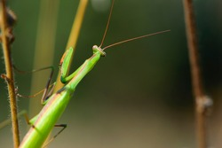 Close-up of green praying mantis on the grass back view