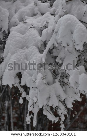 Close-up of snow-covered trees and branches on the background of a blizzard and blizzard with a soft rear angle #1268348101