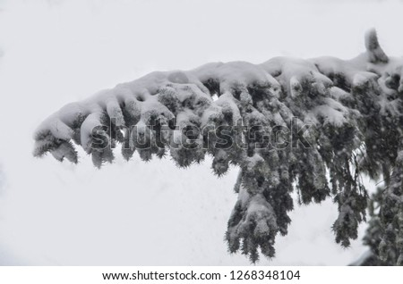Close-up of snow-covered trees and branches on the background of a blizzard and blizzard with a soft rear angle #1268348104