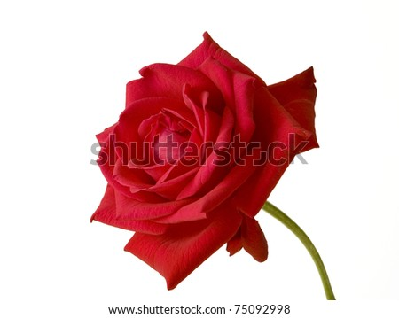 Close-up of the red rose isolated on white