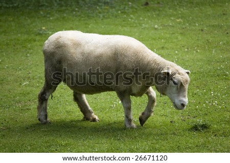 close up of  white sheep on  green pasture #26671120