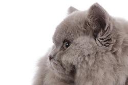 close up portrait beautiful british longhair kitten with orange yellow eyes on studio isolated white background