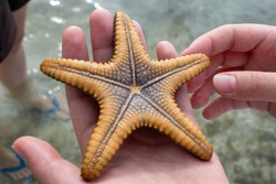close-up red five-pointed starfish in hand  backside