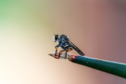 Close up Robber fly on a branch