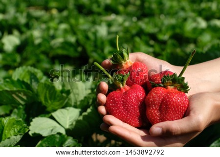 Close up two hands (teenage boy) holding freshly picked  bright red strawberries in an organic pick-your-own farm. Showing his self-picking delicious juicy and  healthy summer fruit.