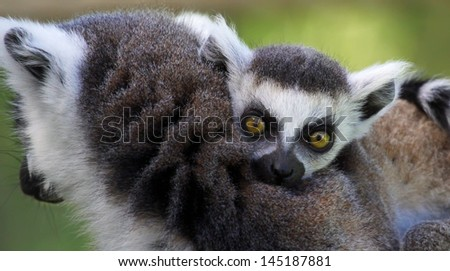 Close-up view of a young Ring-tailed lemur (Lemur catta)