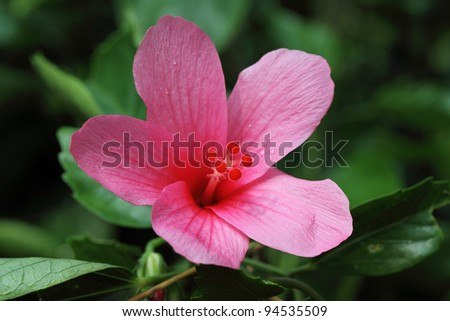 Closeup of  pink hibiscus flower
