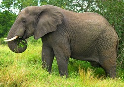 closeup photo of an elephant eating leaves
