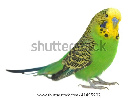 closeup portrait of  budgerigar on white - stock photo