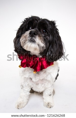 Cocker Spaniel Holiday collar  in front of white background