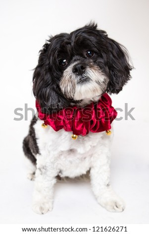Cocker Spaniel Holiday collar  in front of white background - stock photo