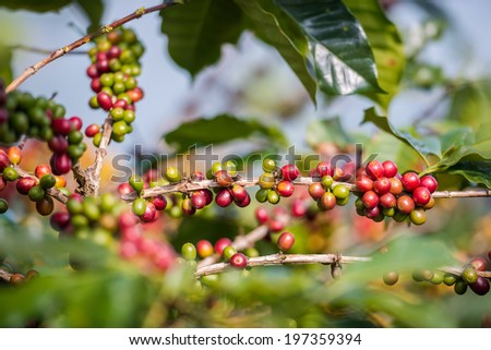 Coffee Plant. Red coffee beans on a branch of coffee tree. ,Branch of a coffee tree with ripe fruits ,fresh coffee Cherry name