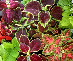 Coleus plant. A mixture of colors. Colorful leaves. Different varieties of coleus. Assortment of potted house plants. Burgundy-green leaves of coleus close-up. banner packing for seeds.