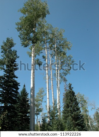 Colorado aspen trees grow tall in the Rocky Mountains
