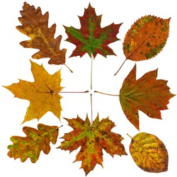 Colorful autumn leaves collection, isolated on white