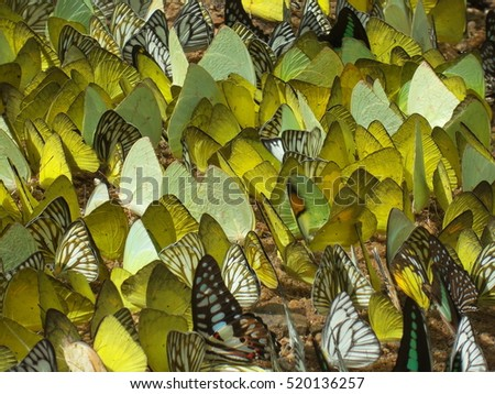 Colorful Butterflies in light dark Oranges, Green, Yellow, White,black, Blue Two Wings flying sitting postures under sunny shadow on high and low plateau land and side view on pebbles rock stone #520136257