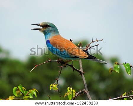 Colorful European roller  in tarangire  park, tanzania,, Africa