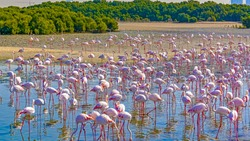 Colorful flock of pink flamingos in wild nature near the city. Pink and black wings. Birds in shallow river. Ras Al Khor sanctuary.