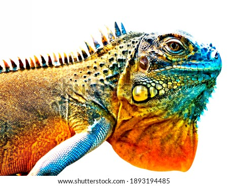Colorful iguana in detail isolated on white background. Foto d'archivio ©