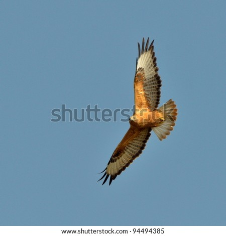 common buzzard flying (buteo buteo) - stock photo