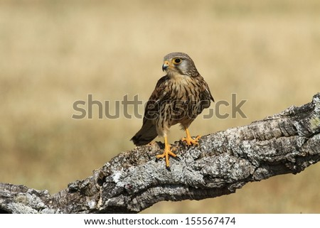 Common or South African Kestrel Falco  tinnunculus
