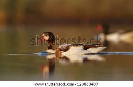 Common Shelduck (Tadorna tadorna) water