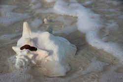 Conch Shell in a Wave on a Beach