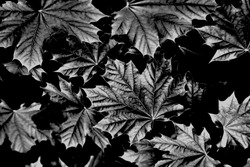 Contrast black and white photo of maple leaves. Dark background.