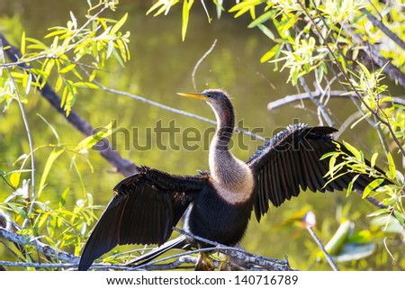 Cormorant bird ,Everglades NP,Florida