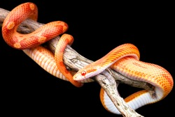 Corn snake wrapped around an old branch isolated on black