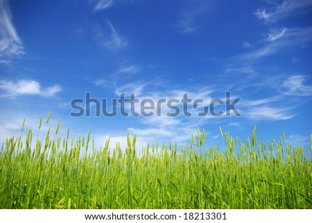 corn with a blue sky background