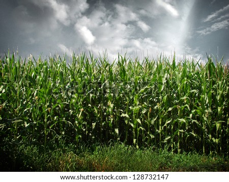 cornfield with dramatic sky