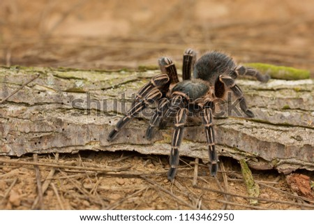 Costa Rican zebra tarantula, also known as the striped-knee tarantula (Aphonopelma seemanni), is a species of tarantula inhabiting most of western Costa Rica, as well as other parts of Central Am. Foto stock ©