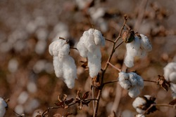 Cotton - Wikipediaen.wikipedia.org › wiki › Cotton Cotton is a soft, fluffy staple fiber that grows in a boll, or protective case, around the seeds of the cotton plants