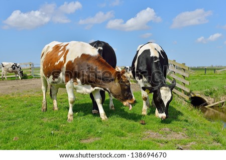 cow grazing in field