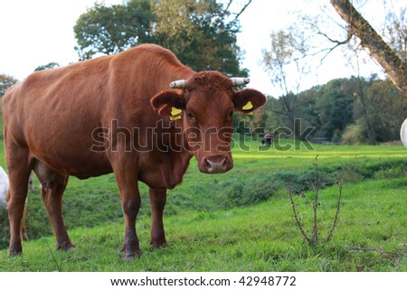 cow on pasture in northern Germany