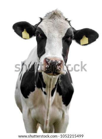 cow on white background #1052215499