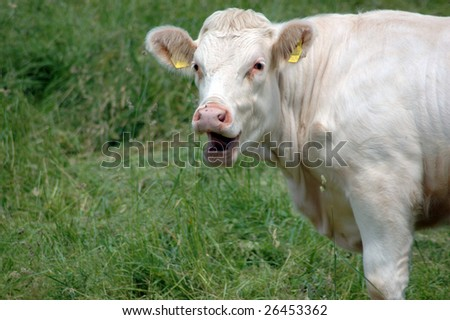 Cow surprised and smiles